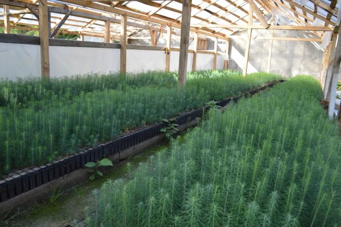 Producerea puietilor containerizati de rasinoase