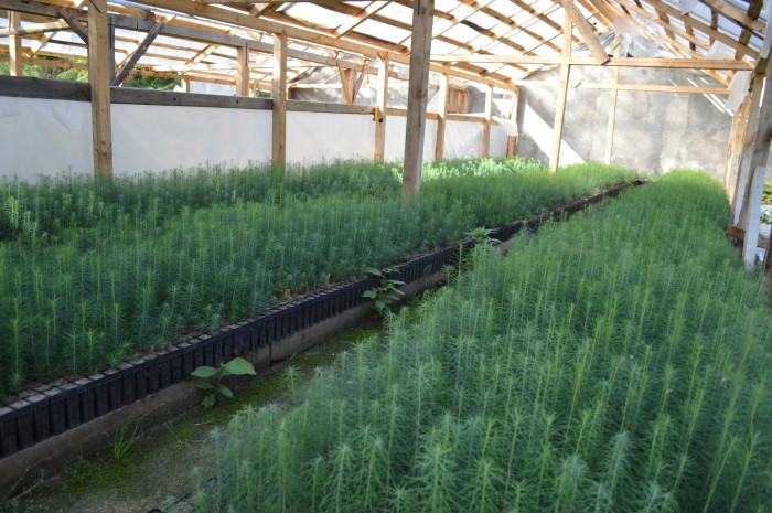 producere puieti de larice in container dupa un sezon de crestere
