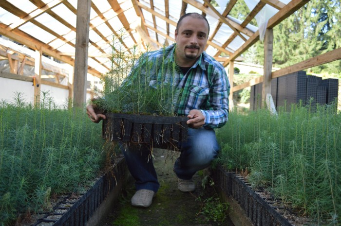 producere puieti de larice in container la un an