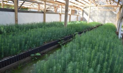 Ocolul Silvic Privat Josenii Bargaului puietii de larice in container